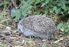 Northern white-breasted hedgehog (Marcell Kárpáti) Tags: cute mammal hungary hedgehog mammalia erinaceinae erinaceidae pásztó sündisznó emlős eulipotyphla erinaceusroumanicus northernwhitebreastedhedgehog keletisün