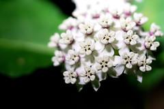 Redring Milkweed (Tyler Newman) Tags: plants flower nature milkweed wildflower redring