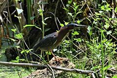 Green Heron (Crunch53) Tags: park green bird robert heron nature birds outdoors scenery long michigan h