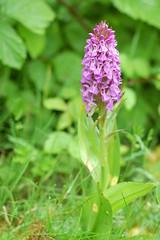 Marsh Orchid at Wigg Island (tom_t.photography) Tags: runcorn halton marshorchid wiggisland
