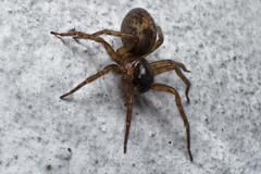 Spider (nhalberg) Tags: macro spider 21 60mm f28 laowa
