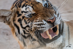 Oh yeah! (glank27) Tags: animals canon eos is wildlife teeth tiger anger usm 70d f456l ef70300mml