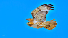 Born To Fly (vgphotoz) Tags: blue arizona portrait sky nature birds wings nikon head hawk ngc nikkor bif supershot borntofly marculescueugendreamsoflightportal vgphotoz