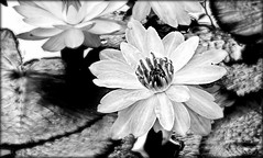 Colorless Beauty (Chris C. Crowley) Tags: flowers blackandwhite water monochrome pond waterlilies lilypads ormondbeachfl amespark colorlessbeauty