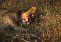I See You (btdonnelly83) Tags: africa travel sunset wild sun game travelling tourism nature grass yellow cat southafrica lion traveller safari lazy lions resting lounging wilderness predator lioness kruger biggame gamedrive klaserie klaseriegamereserve senalala