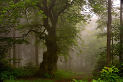 250 years old boundary tree in fog (impossiblejoker) Tags: old mist tree nature misty fog forest germany landscape deutschland nikon nebel natur landschaft baum nordhelle d7100 grenzbaum
