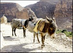 working class (mhobl) Tags: work path morocco maroc mules esel antiatlas pfad strasen amtoudi