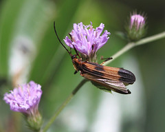 Lycidae - Calopteron reticulatum (THEO PRADO) Tags: coleoptero calopteronreticulatum lycidae