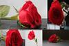 """Red Flower (@_MohamedAlamri المصور محمد العمري) Tags: red flower redflower وردة ورود زهرة أحمر احبك flickraward """"flickraward"""""""