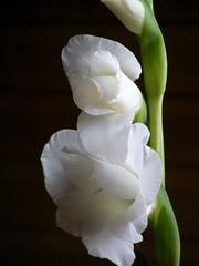 In the shadow (dobro_drvo) Tags: light shadow white flower belo senka svetlo cvet
