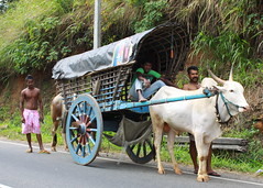 IMG_1771 (Dennis Candy) Tags: buffalo srilanka tradition oxcart