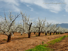 Blooming plum trees .Galilee. (Dora-A) Tags: blue trees winter sky white plant flower color colour green nature ecology beautiful leaves fauna clouds garden season photography japanese israel daylight nice interesting flora colorful pretty day view blossom earth gorgeous country grow galilee orchard fresh panasonic foliage bible christianity colourful effect  holyland golan fruittree fragrance blooming hermon flourishing     yabbadabbadoo doraa   dmcfz150