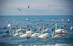 The Swans. Again (Ludon) Tags: blue girls sea sky sun mountains color march duck spring swan rocks pigeon pigeons south ducks ukraine international swans crimea 8th seagul seaguls newworld sudak