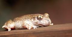 04.09.2011: Kröte mit goldenen Augen
