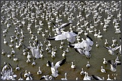 Annual Warren County Snow Geese Convention (leliv-Linda) Tags: pond nj snowgeese warrencounty franklintownship goodspringsroad