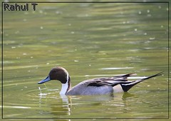 Northern Pintail (Rahul Thakkar 123) Tags: new india color nature water birds asia colours wildlife delhi ducks northern pintail