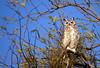 The proud daddy (Deby Dixon) Tags: california nature photography spring nikon sundown wildlife owl gho deby allrightsreserved greathornedowl 2012 debydixon debydixonphotography