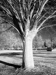 Waterfront Park Unique Tree - Infrared Version; Long Island, New York (hogophotoNY) Tags: park shadow blackandwhite bw white newyork black tree contrast grey waterfront unique sony gray longisland infrared newyorkstate unusual filters sonycamera f717 waterfrontpark sonyf717 irphotography sonydigital infraredphotography unusualtree longislandnewyork sonydigitalcamera infraredphoto hogo hogophoto irfilters sonyir sonyf717camera sonycultcamera