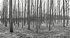 Woodlot Grey (ken mccown) Tags: midwest prairie