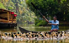 Duck trainer (Kerala, India 2011) (slawekkozdras) Tags: travel india man water animals train work person boat ducks kerala backwates
