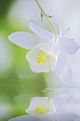 Tranquil Spring (Jacky Parker Photography) Tags: portrait white flower reflection nature water vertical closeup garden spring flora aquilegia reflect single bloom flowering columbine ripples orientation vulgaris floralessence