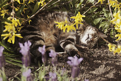 (Florence Lydia Photography) Tags: flowers nature yellow cat garden spring lavender kitty whiskers sleepy paws