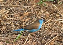 Blue Waxbill (Uraeginthus angolensis) (ruslou (More off than on)) Tags: nature southafrica bluewaxbill uraeginthusangolensis bluebreastedcordonbleu warmbaths gewoneblousysie ruslou belabela zwartkloofprivategamereserve birdperfect southernbluewaxbill