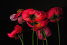 Icelandic Poppies - The View From Down Below (Bill Gracey 18 Million Views) Tags: lighting flowers light red flower macro green fleur colors photography petals shadows flash flor shapes salmon textures stems softbox icelandicpoppy cls studiolighting macrolens macrophotography mohn homestudio strobes amapolas coquelicots directionallight creativelightingsystem pavots nikoncls tabletopphotography superaplus aplusphoto