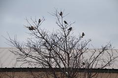 DSC_0003 (rlg) Tags: 20120215 wednesday february 15 2012 201202 0215 02152012 sparrow animal many 4hs cambridge nikond5100 bird