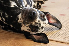 Fotoshooting mit Angie (blumenbiene) Tags: dog female young hund dalmatian hunde dalmatiner hündin dalmatinac junghund