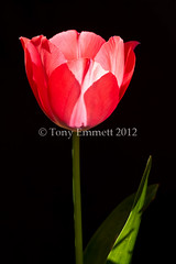 Tulip in strong sunlight (Tony Emmett) Tags: flowers france flower macro nature floral closeup garden flora sigma tulip getty alpha gettyimages sigma105mmf28macro a700 sigma105mm sigma105mmf28exdgmacro sonyalpha donotusewithoutpermission lamothestheray sonyalpha700 minoltaamount gifrancejan12