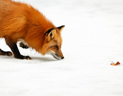 In Deep Concentration (Irena Portfolio) Tags: wildanimal redfox