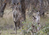 Eastern Grey Kangaroos (Greg Miles) Tags: australia canberra act australiancapitalterritory macropusgiganteus easterngreykangaroo mulligansflat