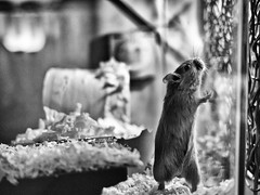 This way up (Mad_m4tty) Tags: portrait pet cute up standing fur gerbil rodent tank