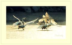 Le Lac des Cygnes (Ali Gardener) Tags: swan swanlake cygne cisne tchaikovsky cigno labut cyne lelacdescygnes
