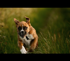 Concentration (Danny Beattie) Tags: george running concentrating boxerpuppy