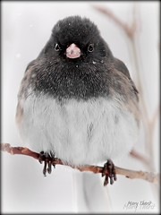 Cheep Model (metherit) Tags: winter wild snow bird nature closeup canon colorado day snowy junco scenic 300mm 7d coloradosprings avian feathered metherit