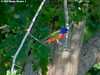 Painted Bunting Male - Bayou Courtableau, Louisiana (Image Hunter 1) Tags: blue light shadow orange tree male green nature colors leaves birds yellow leaf louisiana branch singing branches bayou swamp perch greenery perched marsh paintedbunting t2i birdslouisiana bayoucourtableau canont2i