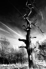 Apocalypse (silentandy) Tags: white black tree dead apocalypse hdr