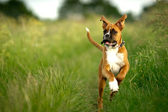 Ready for take off (Danny Beattie) Tags: puppy running boxer flappyears