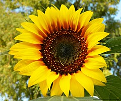Most beautiful sunflower i have ever seen (Fortunes2011 'distinction in contrast') Tags: flowers orange plants brown sun colour yellow garden flora nikon bright bokeh sunflower bloom getty cheerful gettyimages sunworship beautifulflower lovelyflower beautifulsunflower photoscape flickriver colourfulflower imagesgoogle imagesyahoo nikoncoolpixl120 flowersdubai fortunes2011 fickrmindhive grogeousflower macropixcom