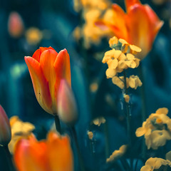 Tulips and wallflowers