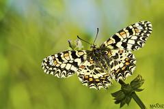 Melitaea phoebe (aziouezmazouz) Tags: macro cute nature butterfly insect amazing ngc cutie naturesfinest nicecapture beautifulcapture anawesomeshot macrolife fabuleuse saariysqualitypictures physis