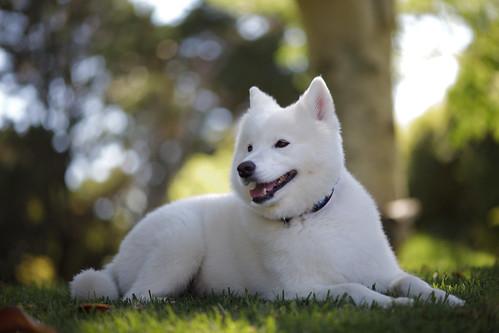 """Sammy smile"" or ""smiley dog | 120104-55 by jikatu, on Flickr"