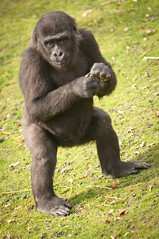 Gorilla Palace. Port Lympe Animal Park (stephen thomas green1) Tags: zoo kent african conservation aspinallfoundation portlympewildanimalpark bushpigsportlympeportlympe gorillapalaceportlympeanimalparkpark