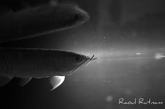 Arowana B&W (Raoul Rutnam) Tags: red wallpaper white fish black aquarium golden dragon tail tanks rtg arowana
