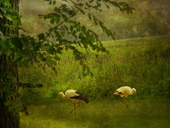 DSCN2055 is it love? (pinktigger) Tags: italy bird italia storks fagagna cicogna oasideiquadris feagne friui ringexcellence flickrstruereflection1 rememberthatmomentlevel1 rememberthatmomentlevel2 rememberthatmomentlevel3