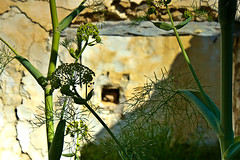 Plantes i ruïnes (ibzsierra) Tags: plants planta canon ruins ruina ibiza eivissa plantes baleares ruines digitalcameraclub 400d olétusfotos