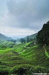 Sg Palas Tea Plantation (2121studio) Tags: nature nikon ali malaysia indah cameronhighlands kuantan alam malaysianphotographer drali sgpalasteaplantation 2121studio kuantanphotographer pahangphotographer ciptaanallahswt 0139342121 nubleebinshamsubahar