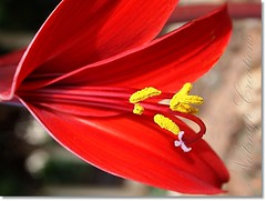 our bloom (~~NatSnap~~) Tags: bokeh stamens pollen flowermacro gardenflower redbloom bulbblooms